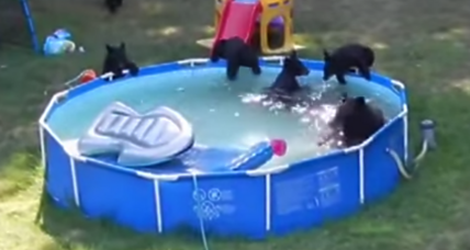 Watch black bears beat the heat at N.J. pool party